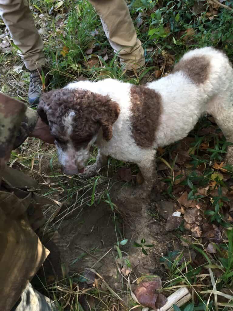 truffle dog in Montalcino