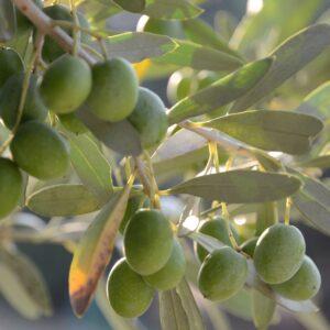 Exploring Extra Virgin Olive Oil
