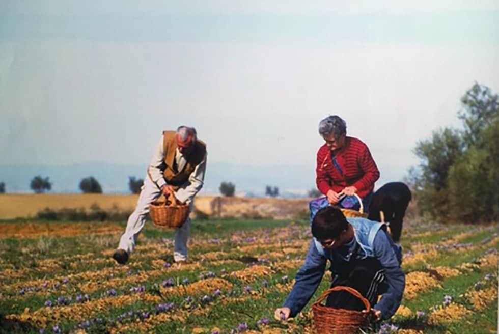 Tuscan saffron